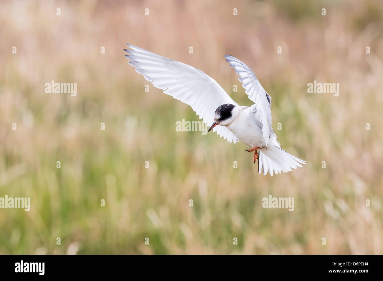 Arctic tern (Sterna paradisaea) chick in flight, Flatey Island, Iceland, Polar Regions - Stock Image
