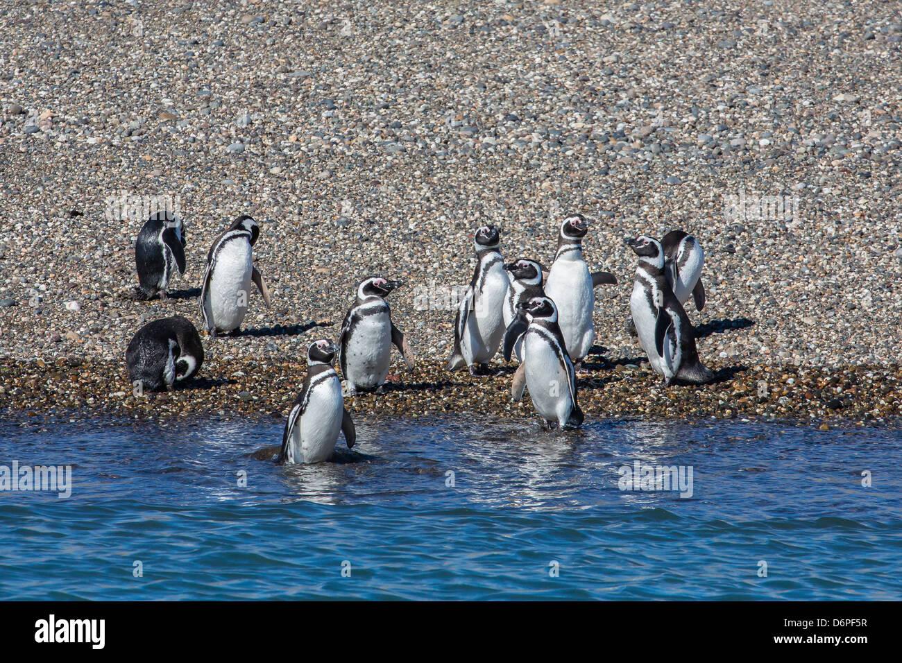 Adult Magellanic penguins (Spheniscus magellanicus), Puerto Deseado, Patagonia, Argentina, South America Stock Photo