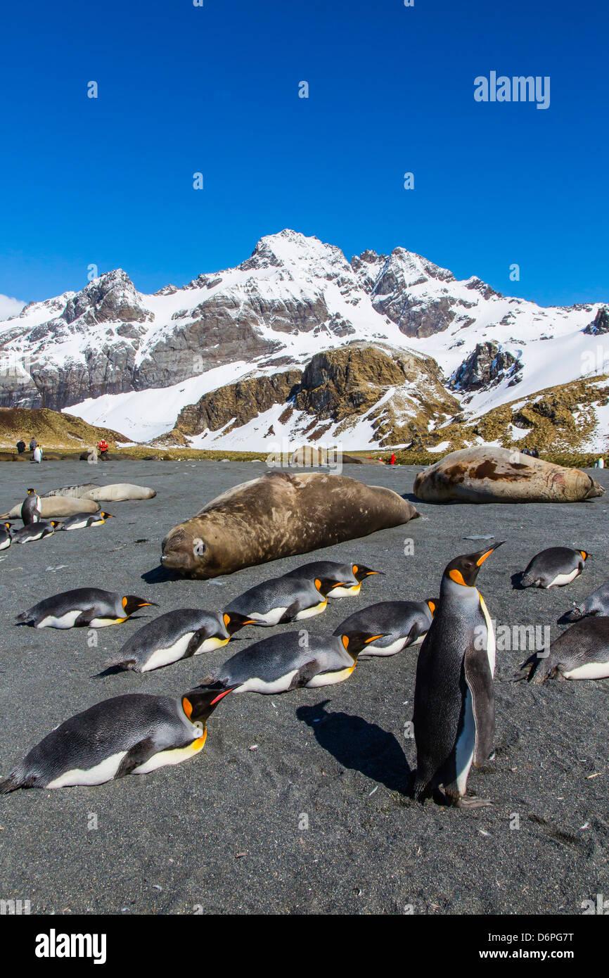 King penguins (Aptenodytes patagonicus), Gold Harbour, South Georgia Island, South Atlantic Ocean, Polar Regions Stock Photo