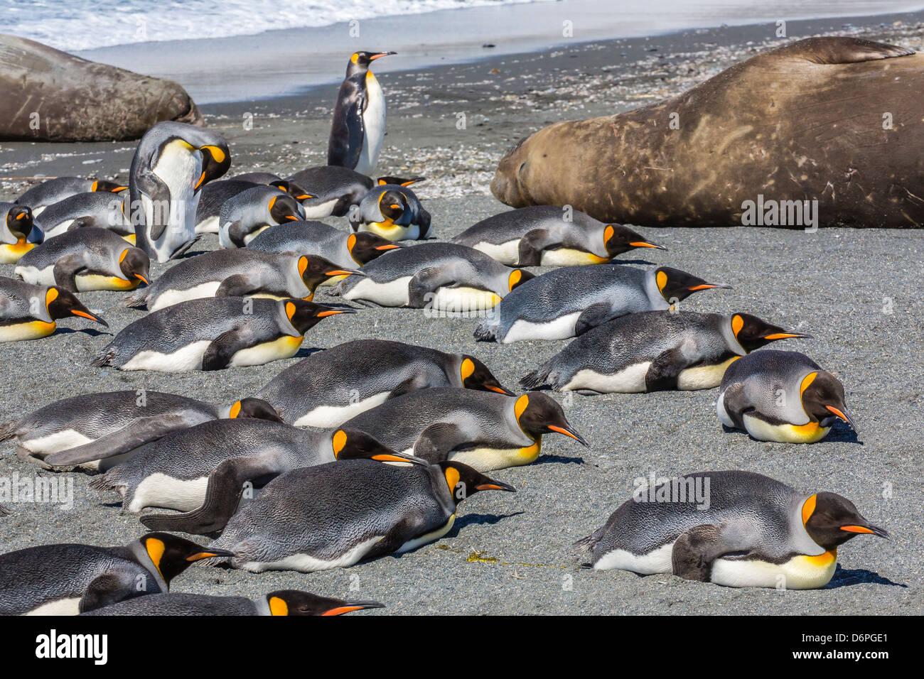 King penguins (Aptenodytes patagonicus), Gold Harbour, South Georgia Island, South Atlantic Ocean, Polar Regions - Stock Image