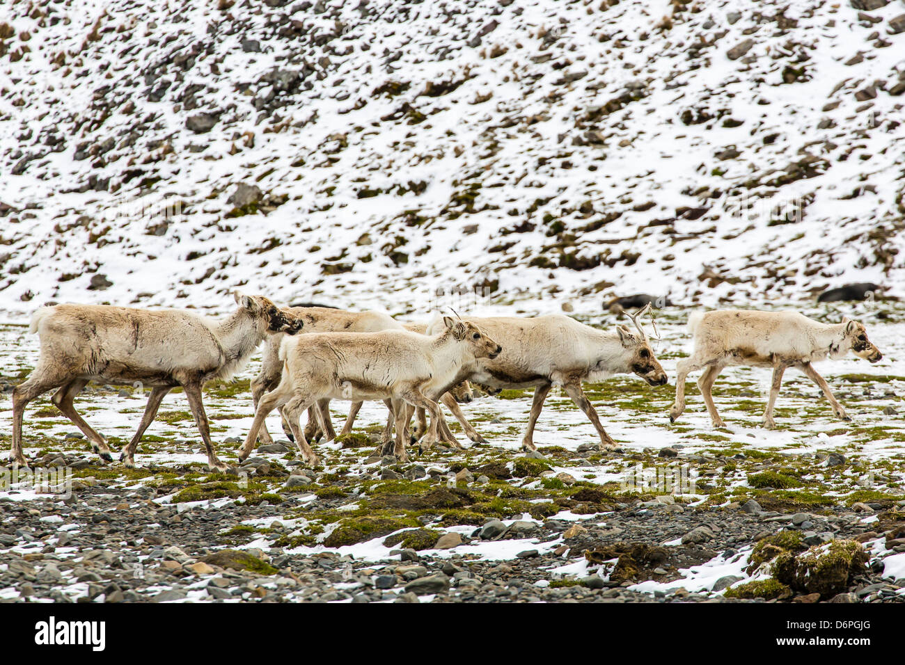 Reindeer (Rangifer tarandus) introduced from Norway, Stromness Bay, South Georgia Island, Polar Regions - Stock Image