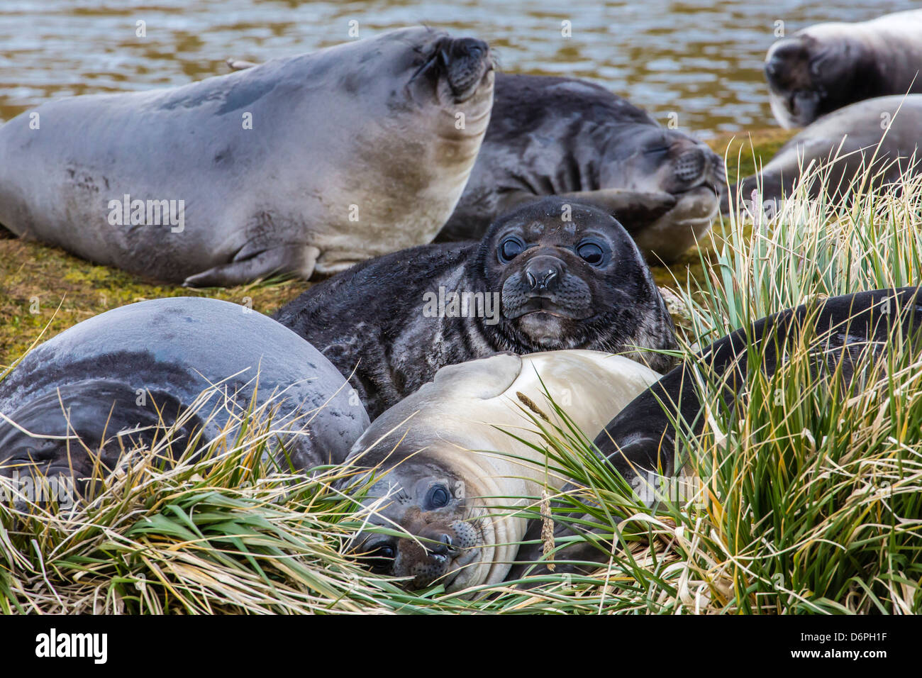 Southern elephant seal (Mirounga leonina) pups, Peggotty Bluff, South Georgia, South Atlantic Ocean, Polar Regions - Stock Image