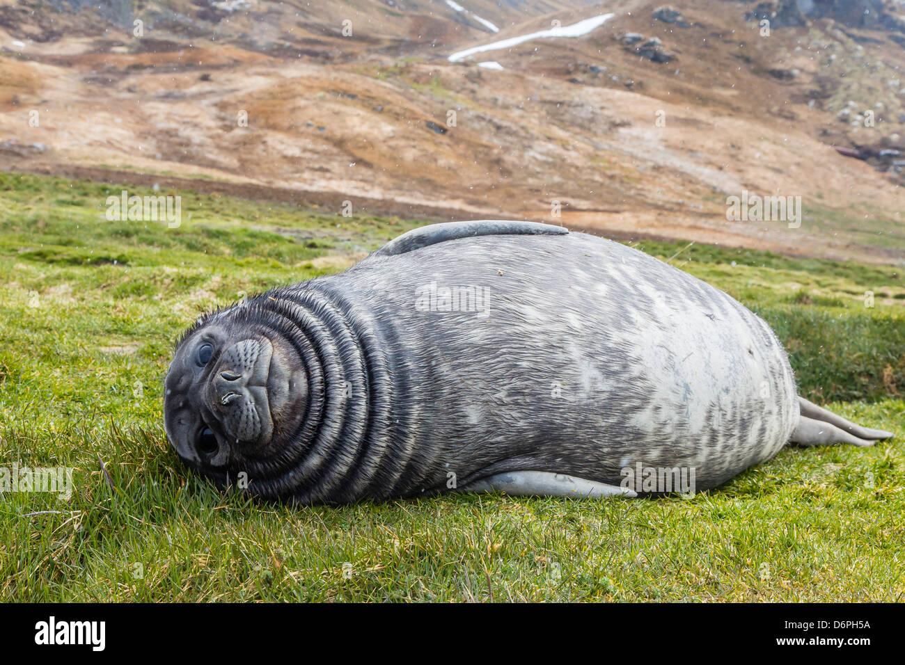 Southern elephant seal (Mirounga leonina) pup, Grytviken Whaling Station, South Georgia, South Atlantic Ocean, Polar - Stock Image