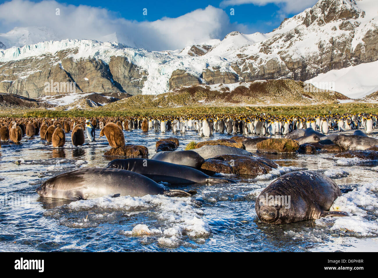 Southern elephant seal (Mirounga leonina) pups, Gold Harbour, South Georgia, South Atlantic Ocean, Polar Regions - Stock Image