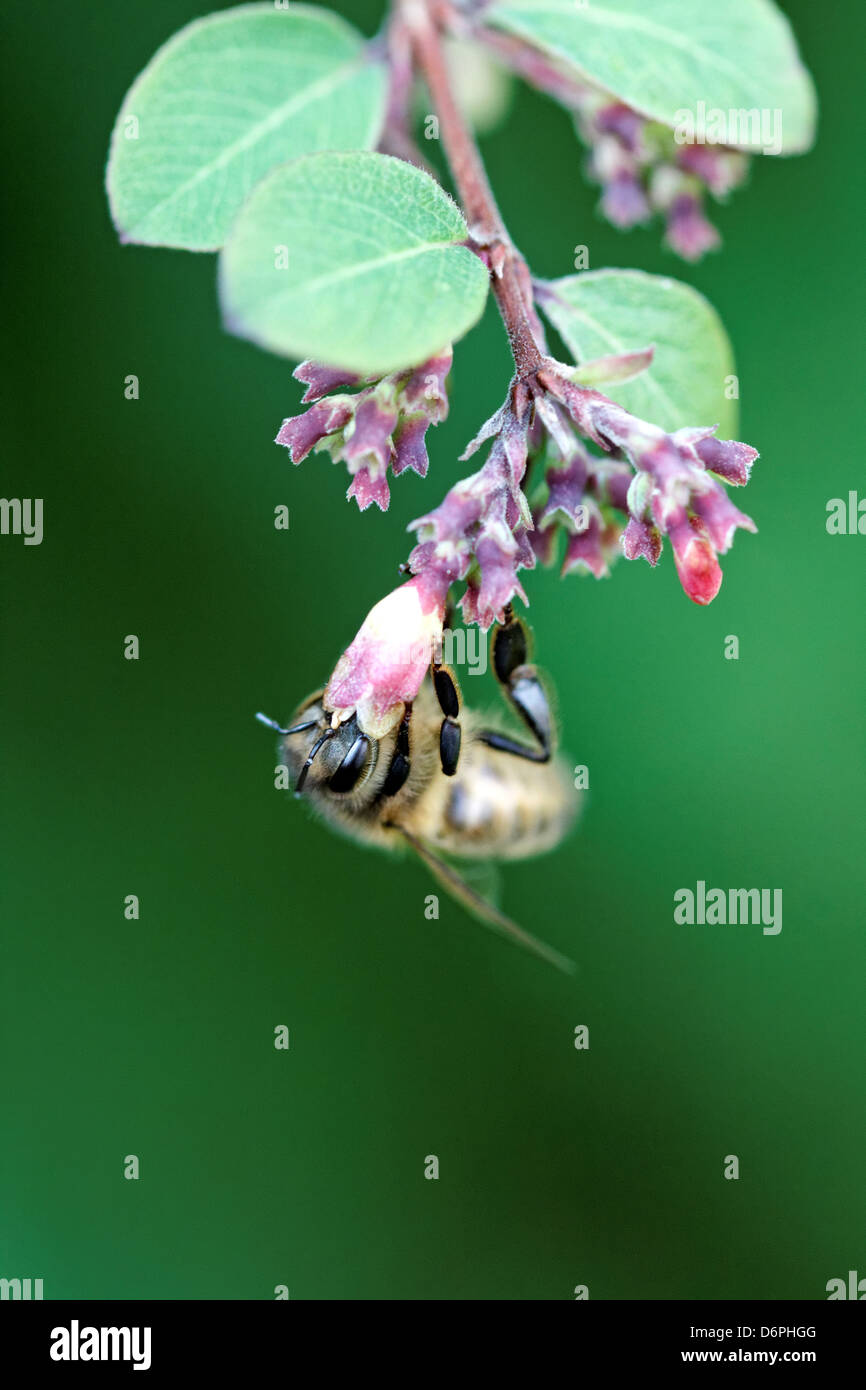 Honey bee on Symphoricarpos (s.doorenbossii variety) - Stock Image