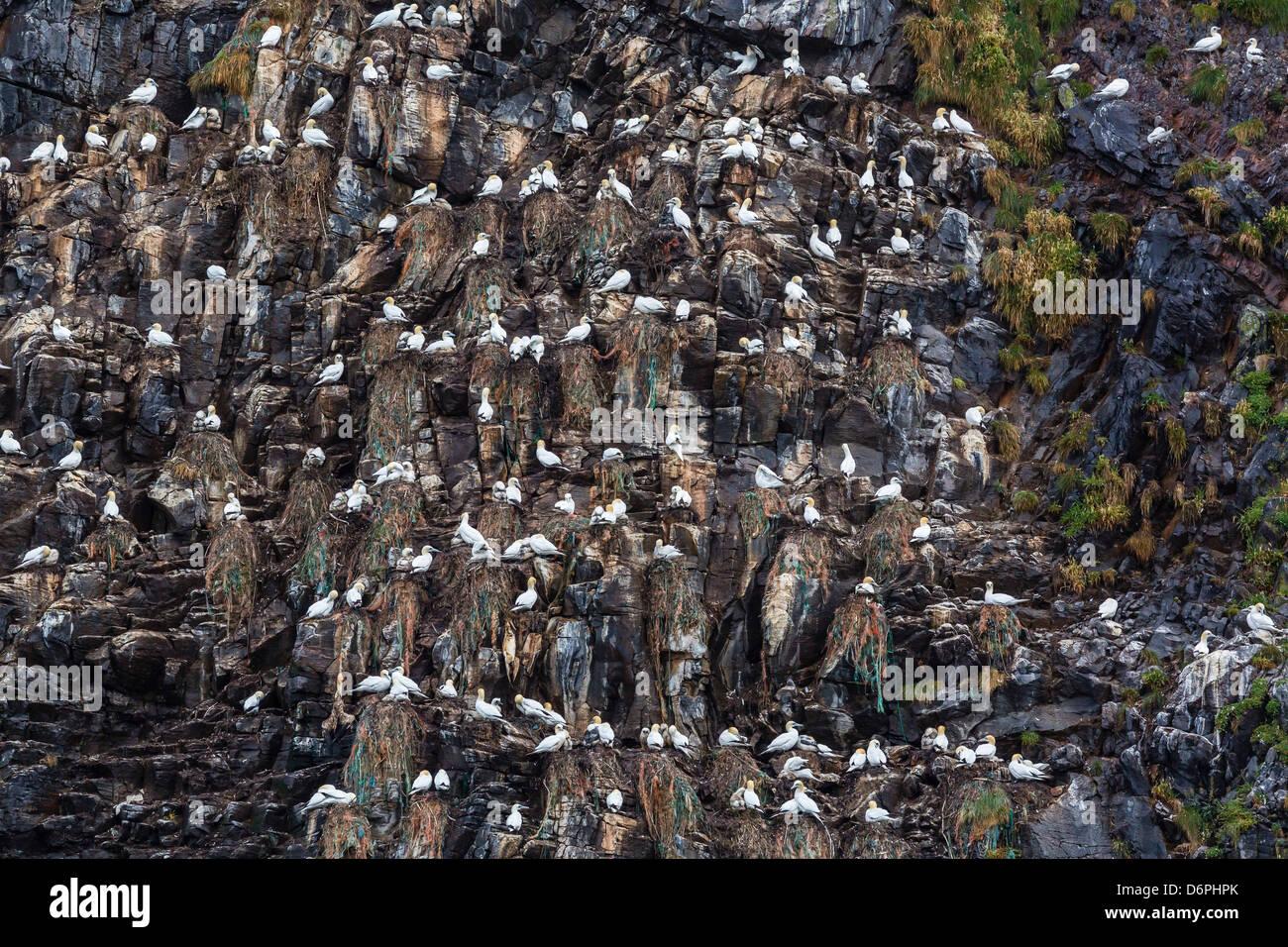 Northern gannets (Morus bassanus) on breeding colony site at Runde Island, Norway, Scandinavia, Europe - Stock Image