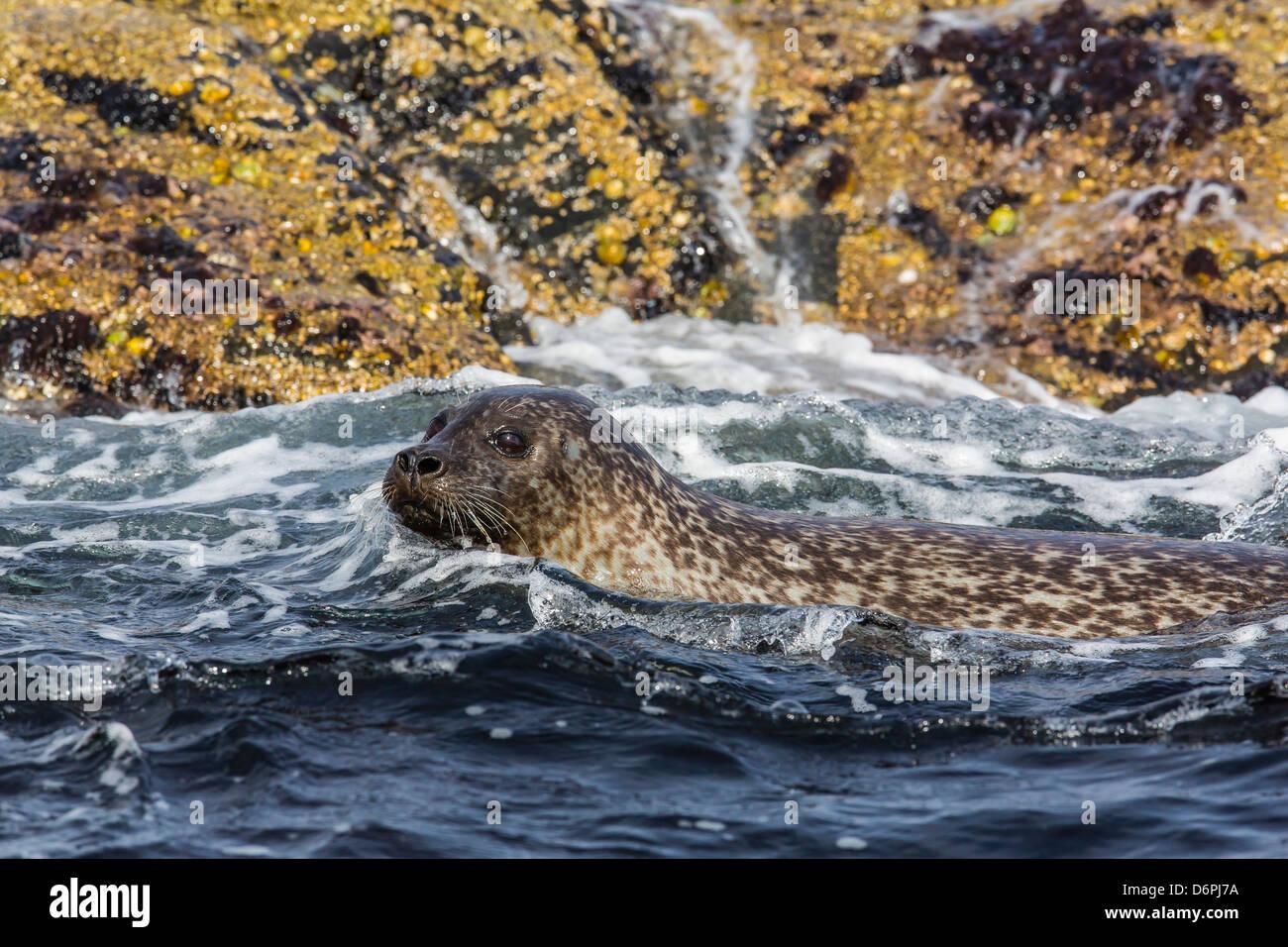 Harbour seal (common seal) (Phoca vitulina), Foula Island, Shetlands, Scotland, United Kingdom, Europe - Stock Image
