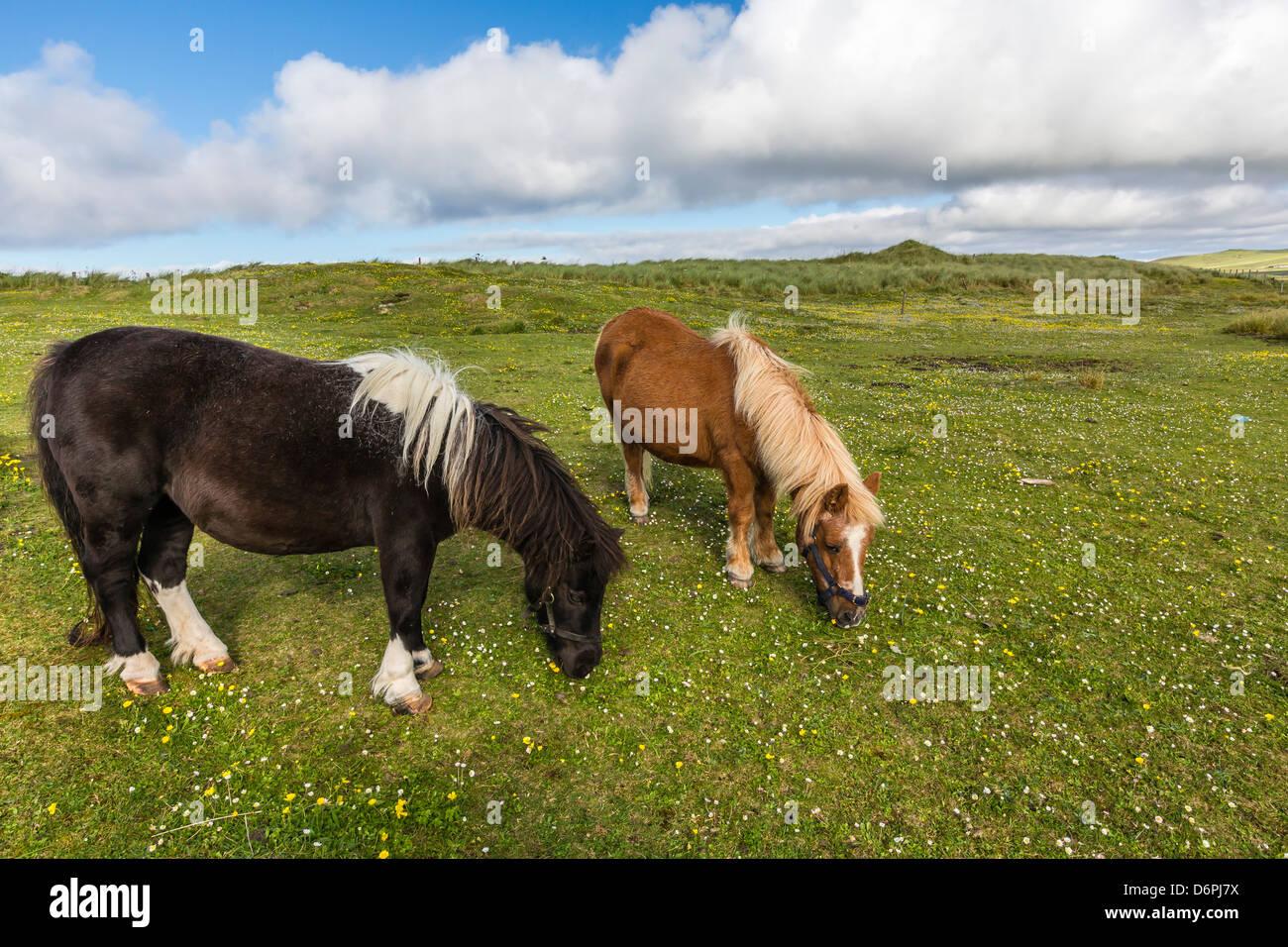 Shetland ponies, Jarlshof, Shetland Isles, Scotland, United Kingdom, Europe - Stock Image