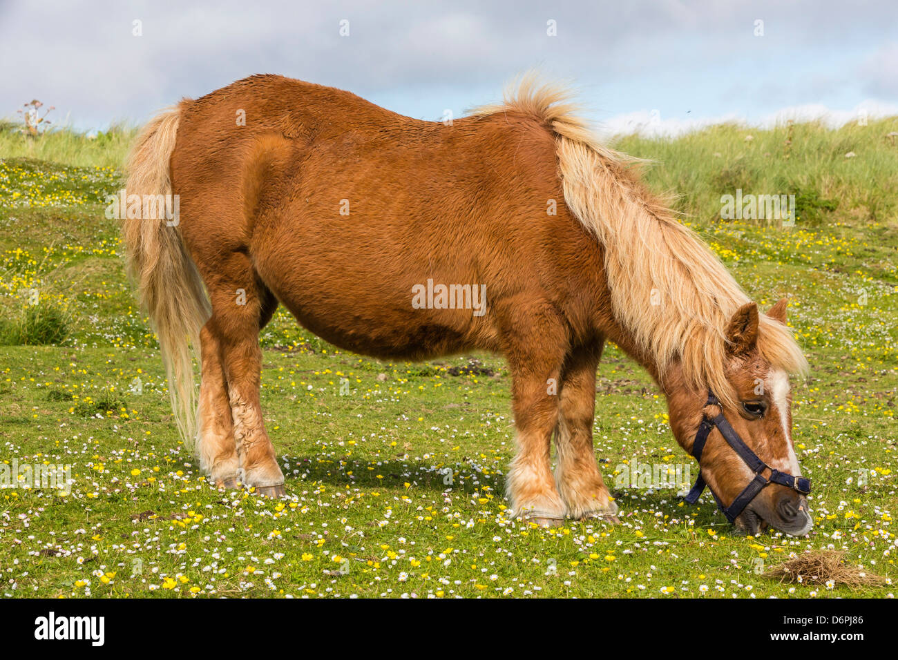 Shetland pony, Jarlshof, Shetland Isles, Scotland, United Kingdom, Europe - Stock Image
