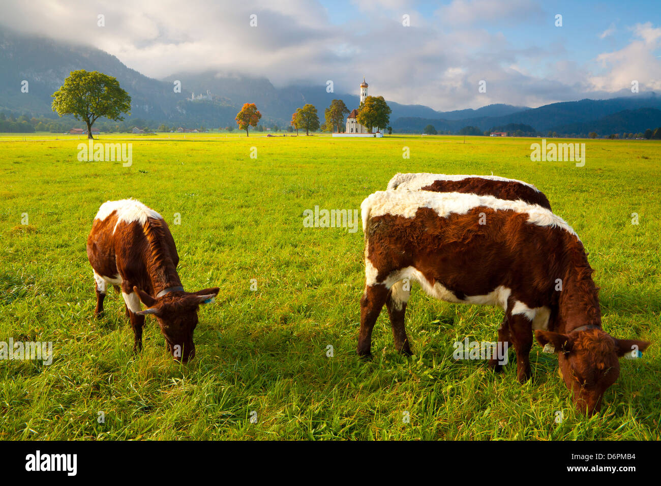 Cattle grazing with Saint Koloman Church and Neuschwanstein Castle in the background, near Fussen, Bavaria, Germany, - Stock Image