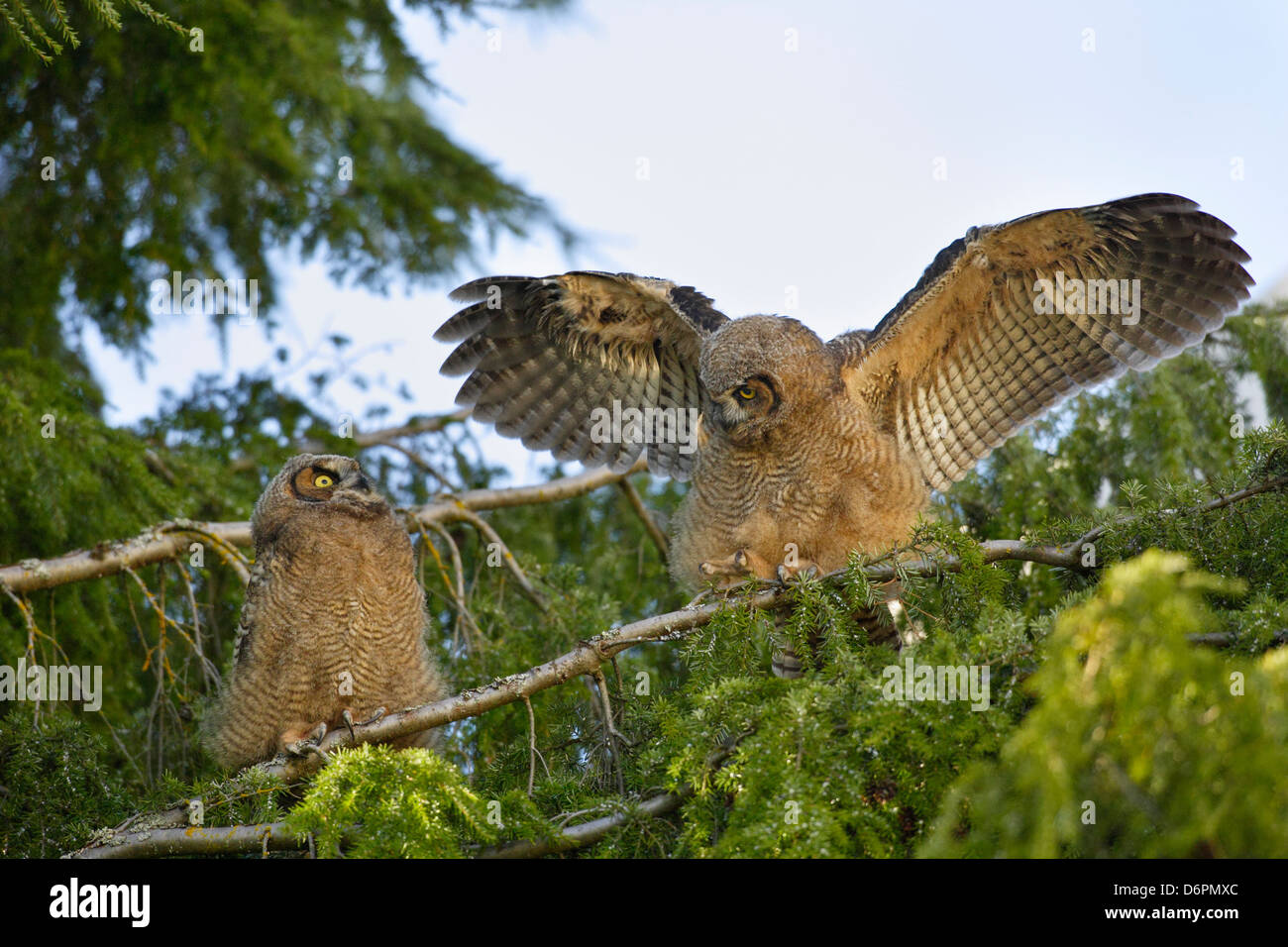 Great horned owlet fledglings roosting on tree while learning to exercise wings-Victoria, British Columbia, Canada. - Stock Image
