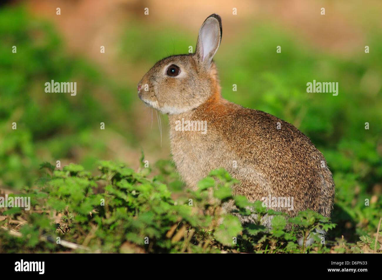 A rabbit in green vegetation - Stock Image