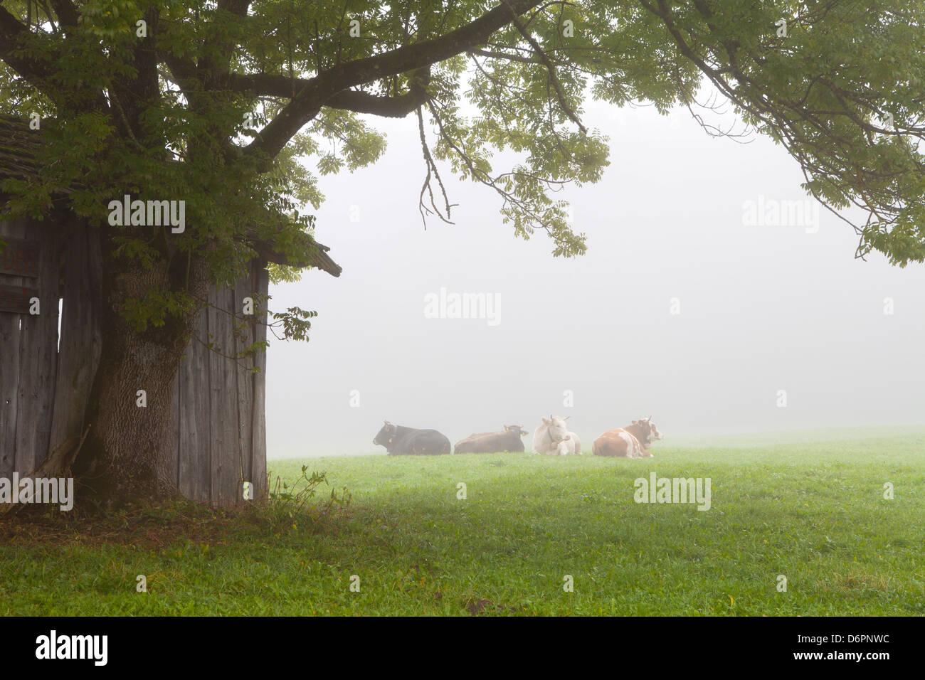 Cattle in fog, near Fussen, Bavaria, Germany, Europe - Stock Image