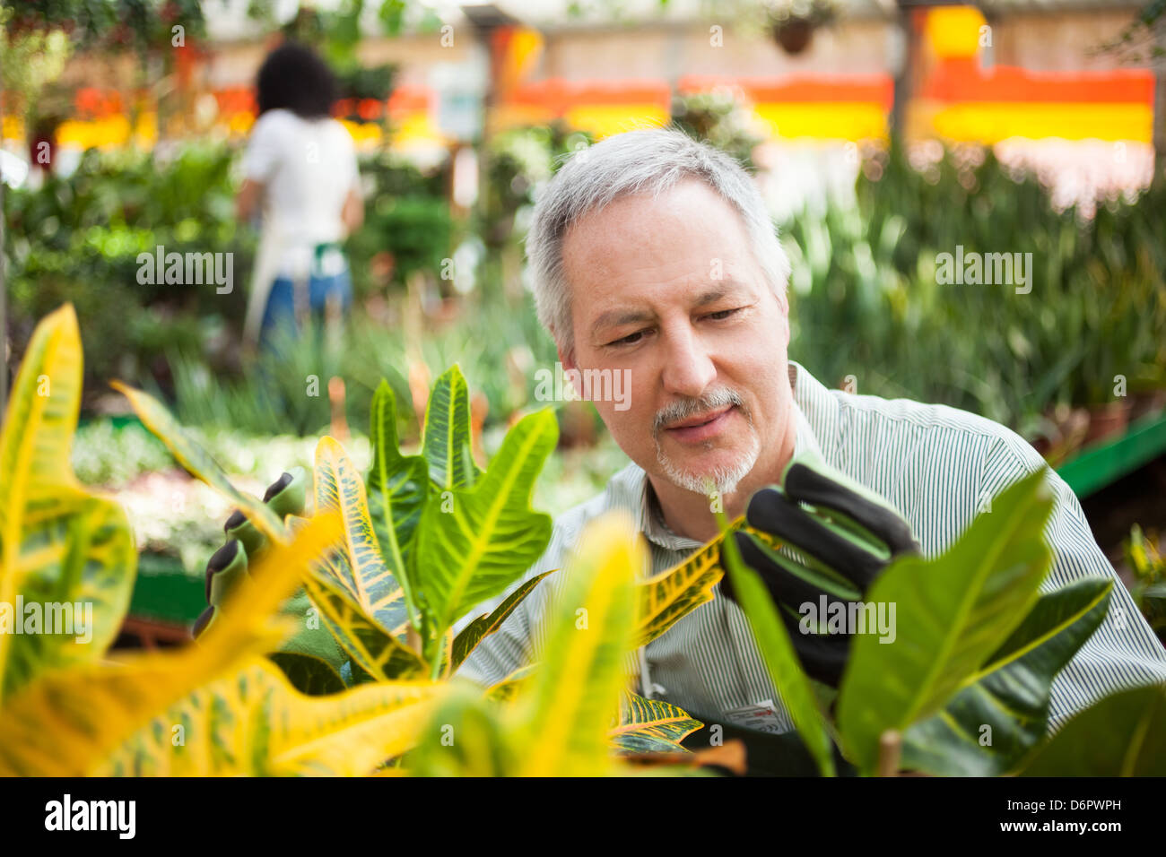 Man checking a plant in a greenhouse - Stock Image