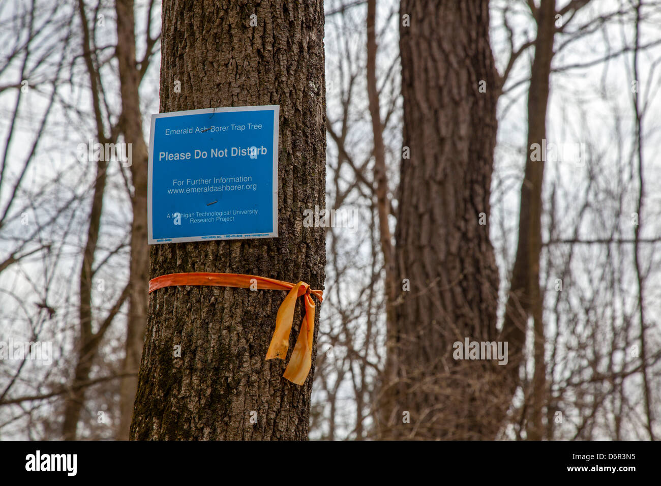 Scientists study spread of the invasive emerald ash borer - Stock Image
