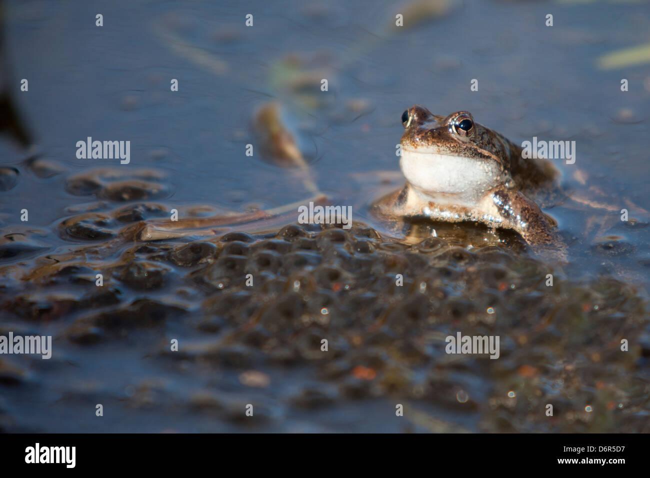 European Common Frog or European Common Brown Frog - Rana Temporaria -, Barcelona, Spain - Stock Image