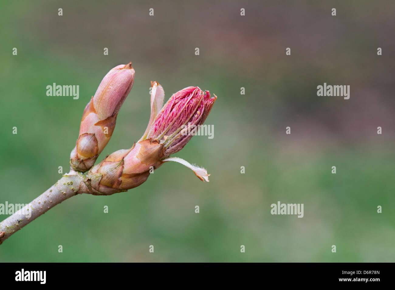 Aesculus Neglecta 'Erythroblastos'. Sunrise horse chestnut leaf bud opening in spring Stock Photo