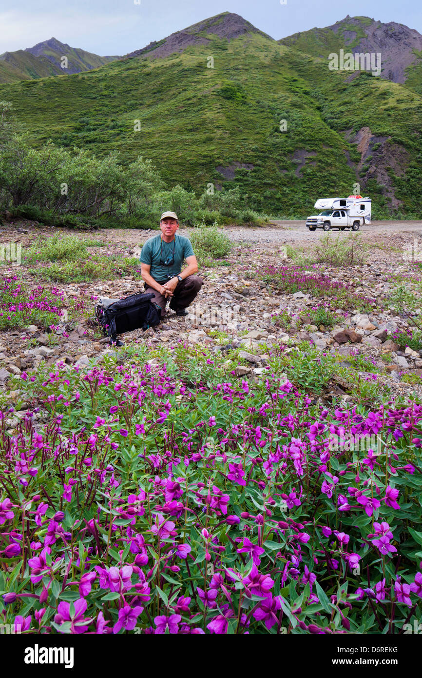 Photographer and Tall Fireweed (Evening Primrose) grow along a stream near Cathedral Mountain, Denali National Park, - Stock Image