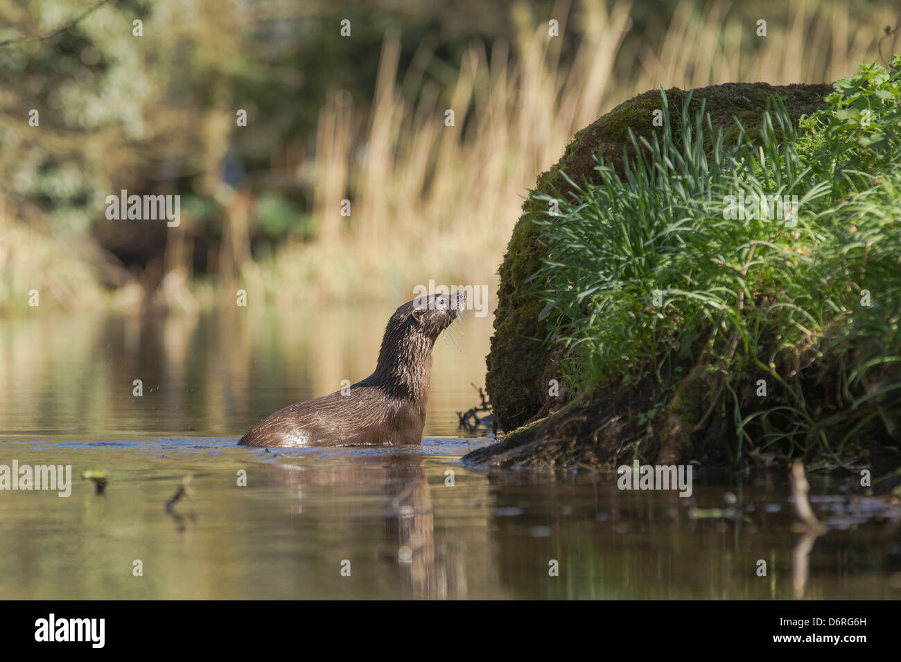 Otter (Lutra lutra) sniffing the riverbank - Stock Image