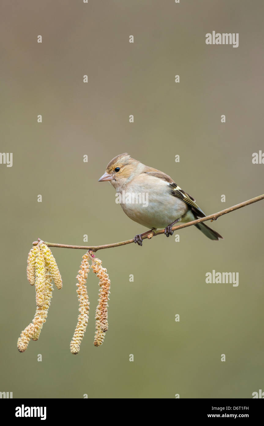 Chaffinch, Fringilla coelebs, female perched on hazel twig with catkins - Stock Image