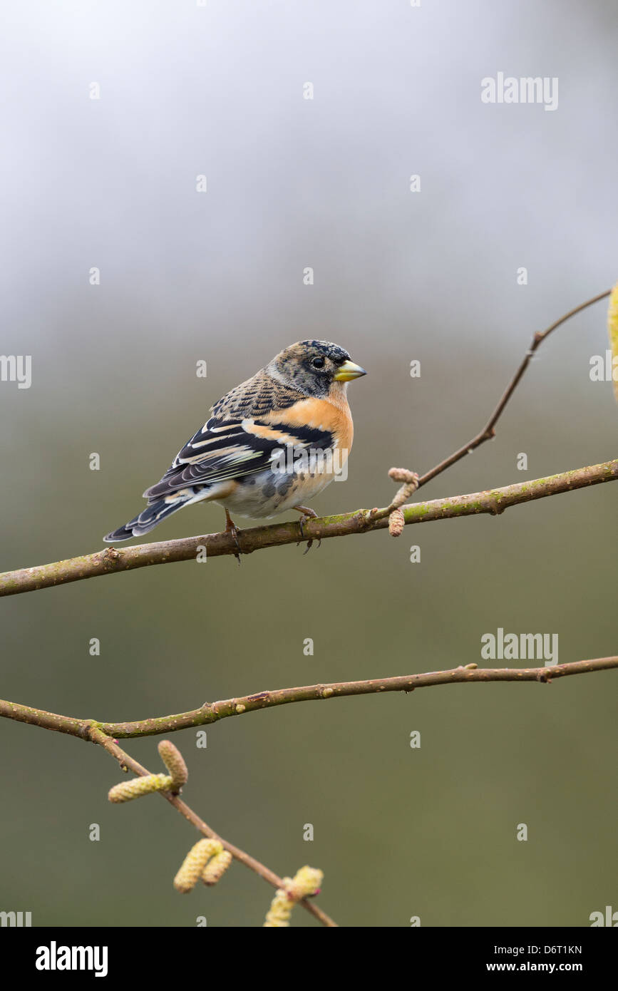Brambling,Fringilla montifringilla, male perched on hazel branch. - Stock Image