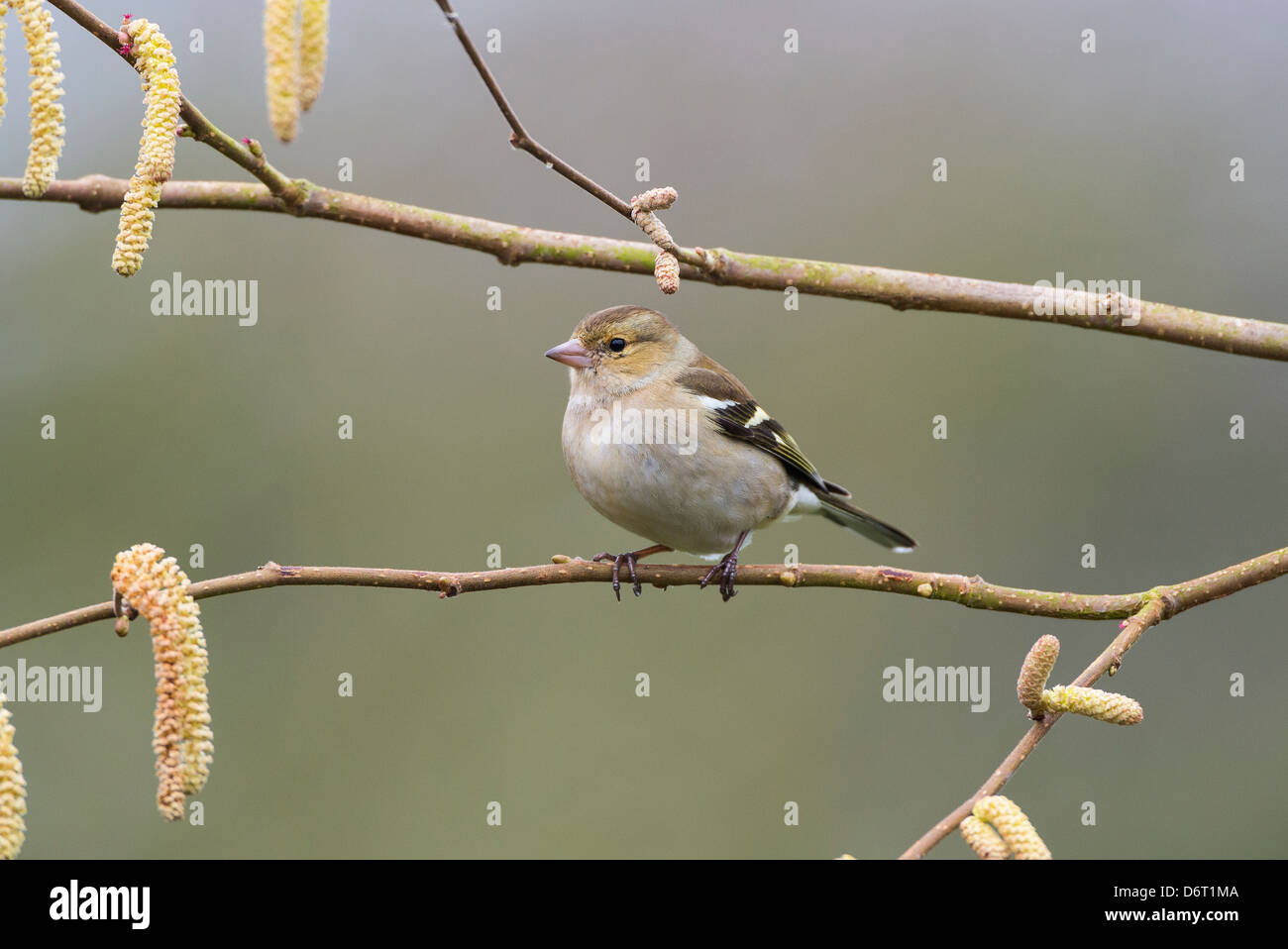 Chaffinch, Fringilla coelebs, female perched on hazel branch. - Stock Image