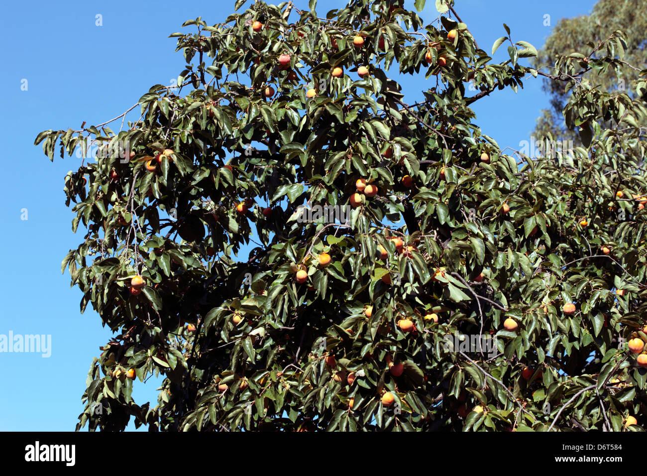 Japanese Date Plum/Kaki Tree-Diospyros kaki-Family Ebenaceae Stock Photo