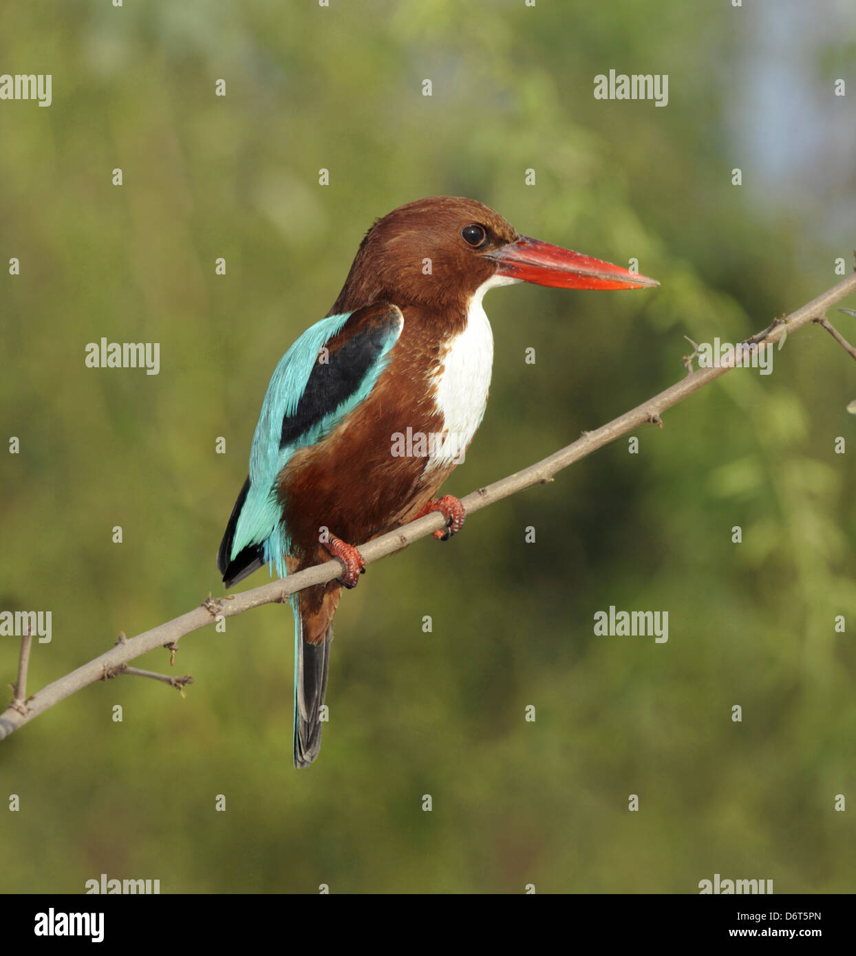 White-throated Kingfisher - Halcyon smyrnensis - Stock Image