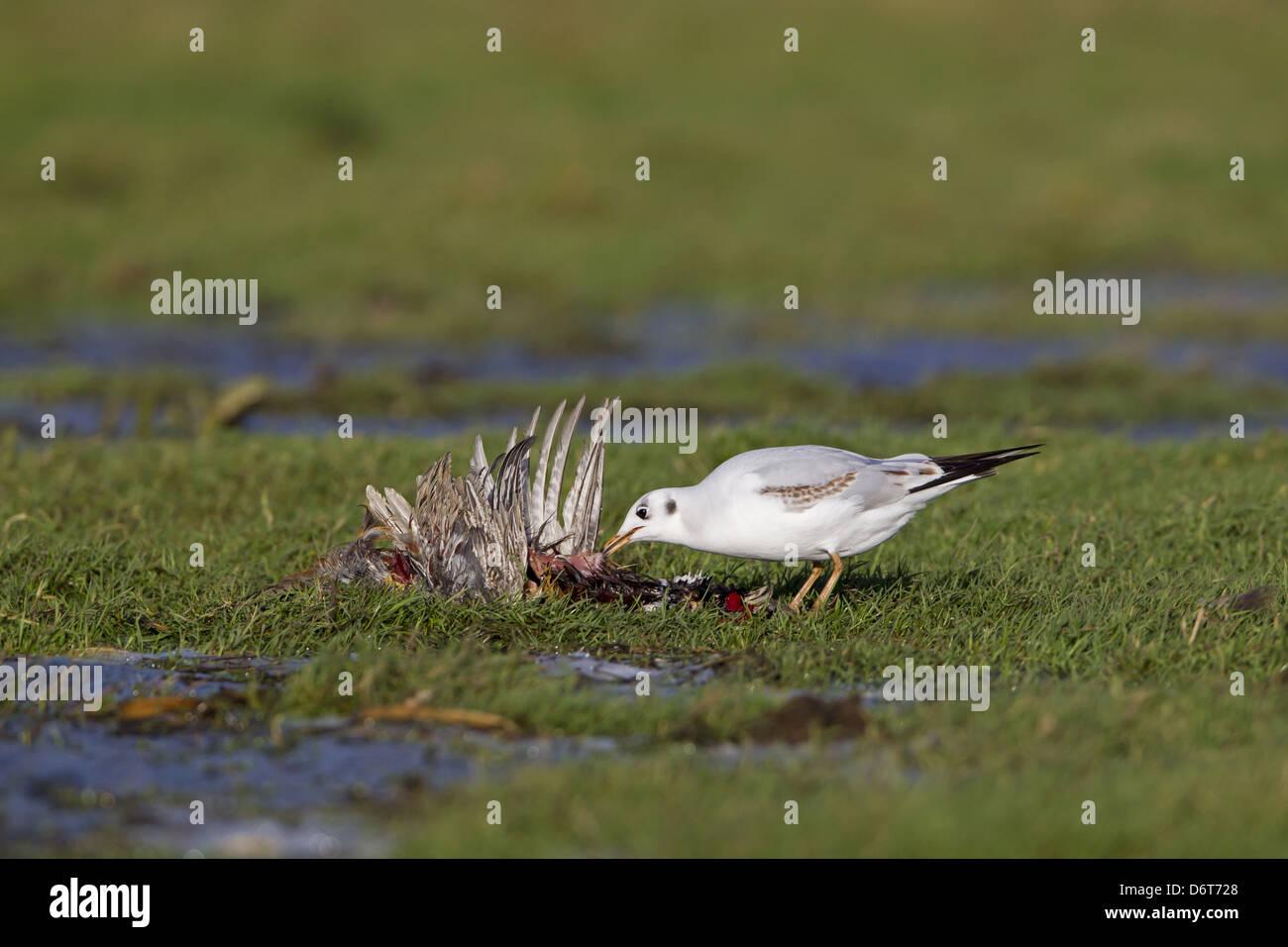 Black-headed Gull Larus ridibundus immature first winter plumage feeding on dead Common Pheasant Phasianus colchicus - Stock Image