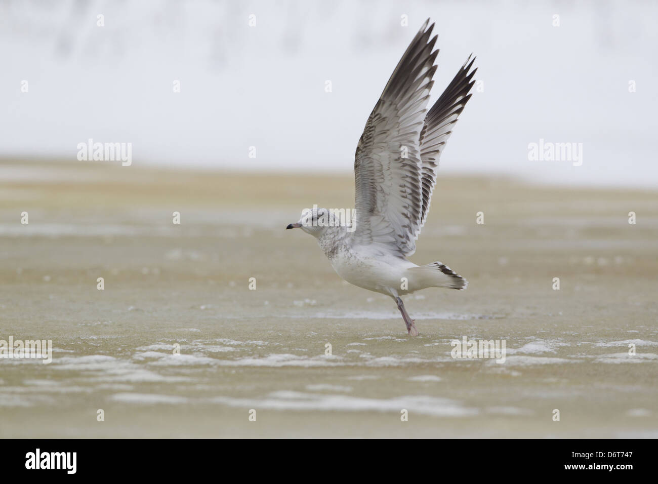 Common Gull Larus canus immature first winter plumage in flight taking off from ice frozen pond Suffolk England - Stock Image