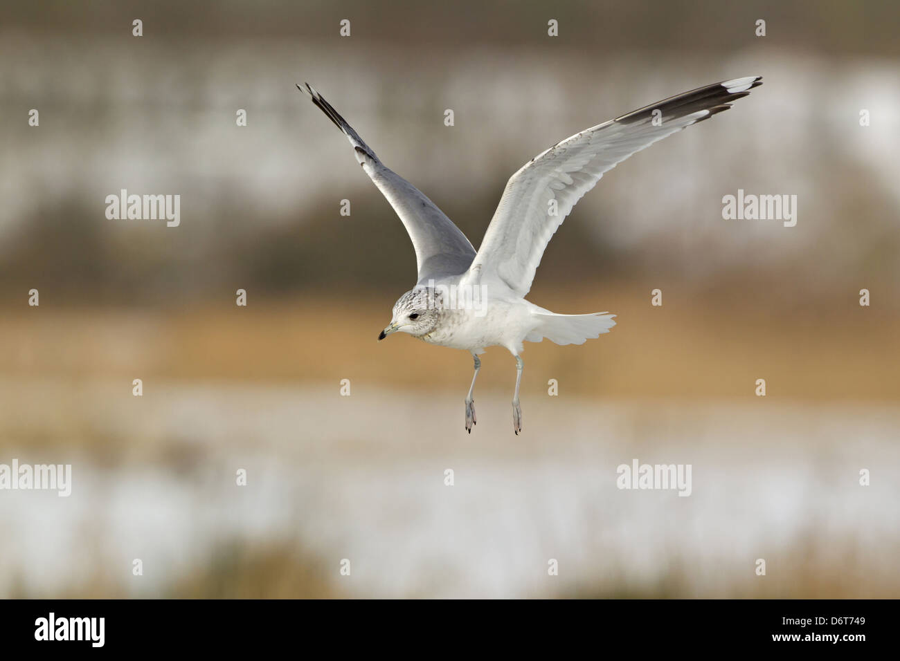 Common Gull Larus canus immature, second winter plumage, in flight, Suffolk, England, January - Stock Image