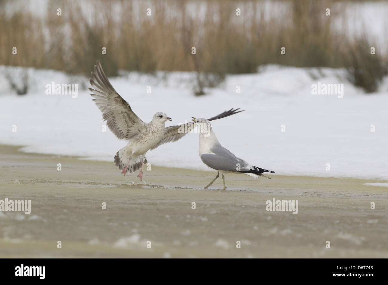 Common Gull Larus canus immature first winter plumage in flight taking off from advancing adult on ice frozen pond - Stock Image