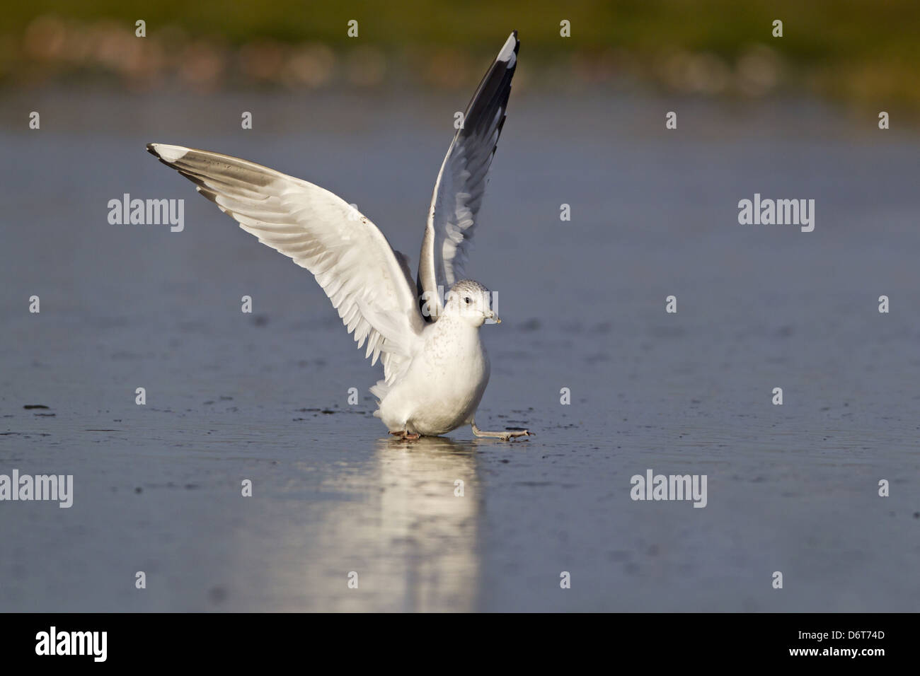 Common Gull (Larus canus) immature, second winter plumage, slipping on ice of frozen pond, Suffolk, England, December - Stock Image