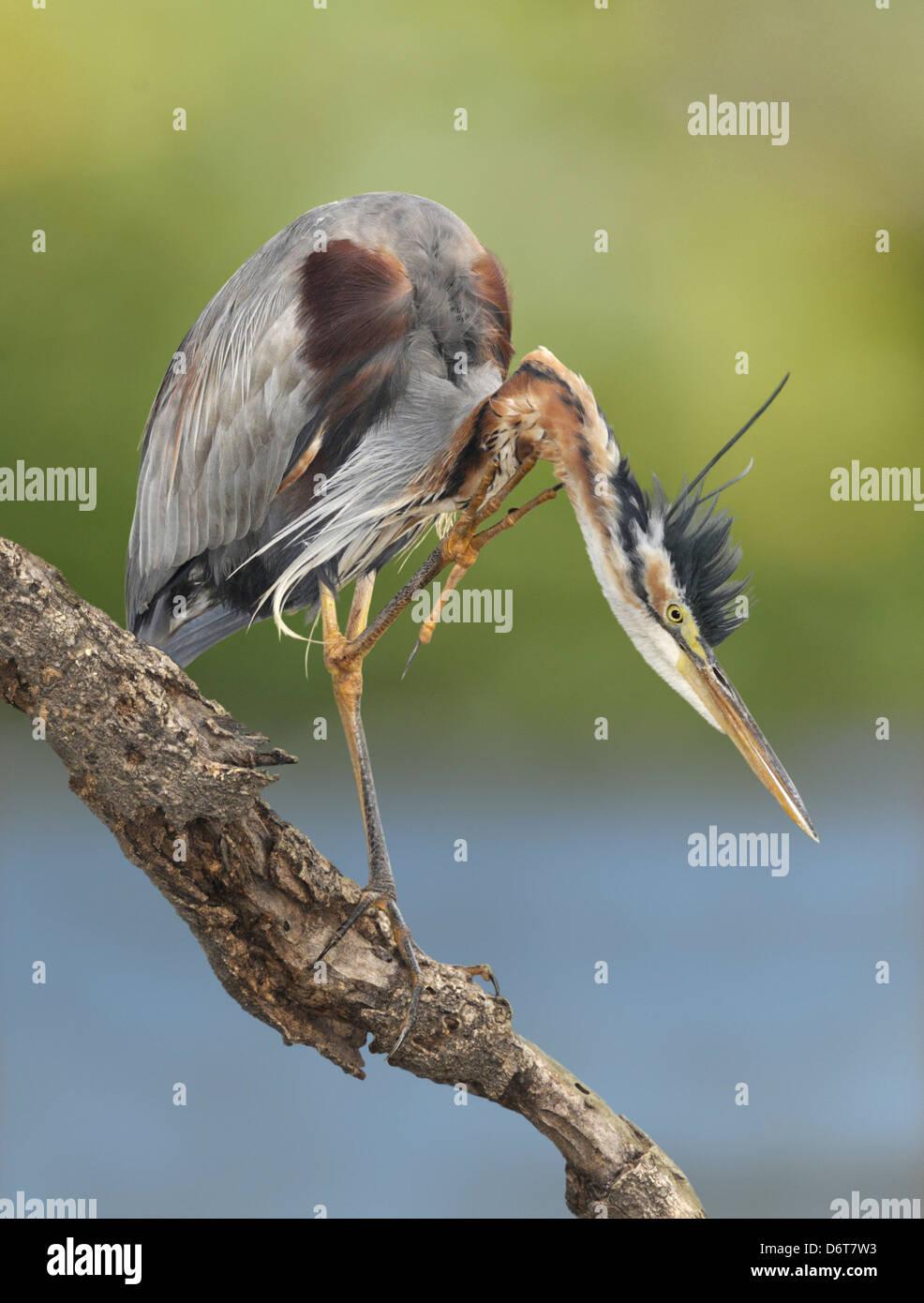 Purple Heron - Ardea purpurea - Stock Image