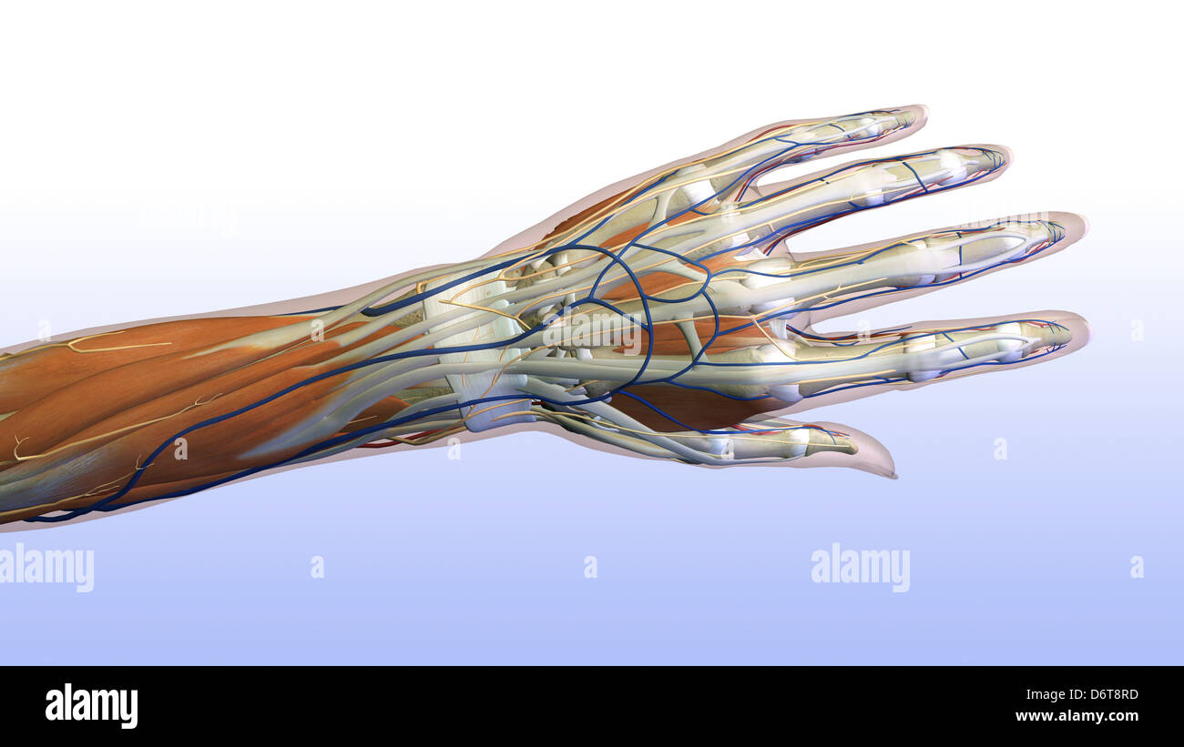 Female hand and wrist anatomy, back, posterior view, Full color on ...