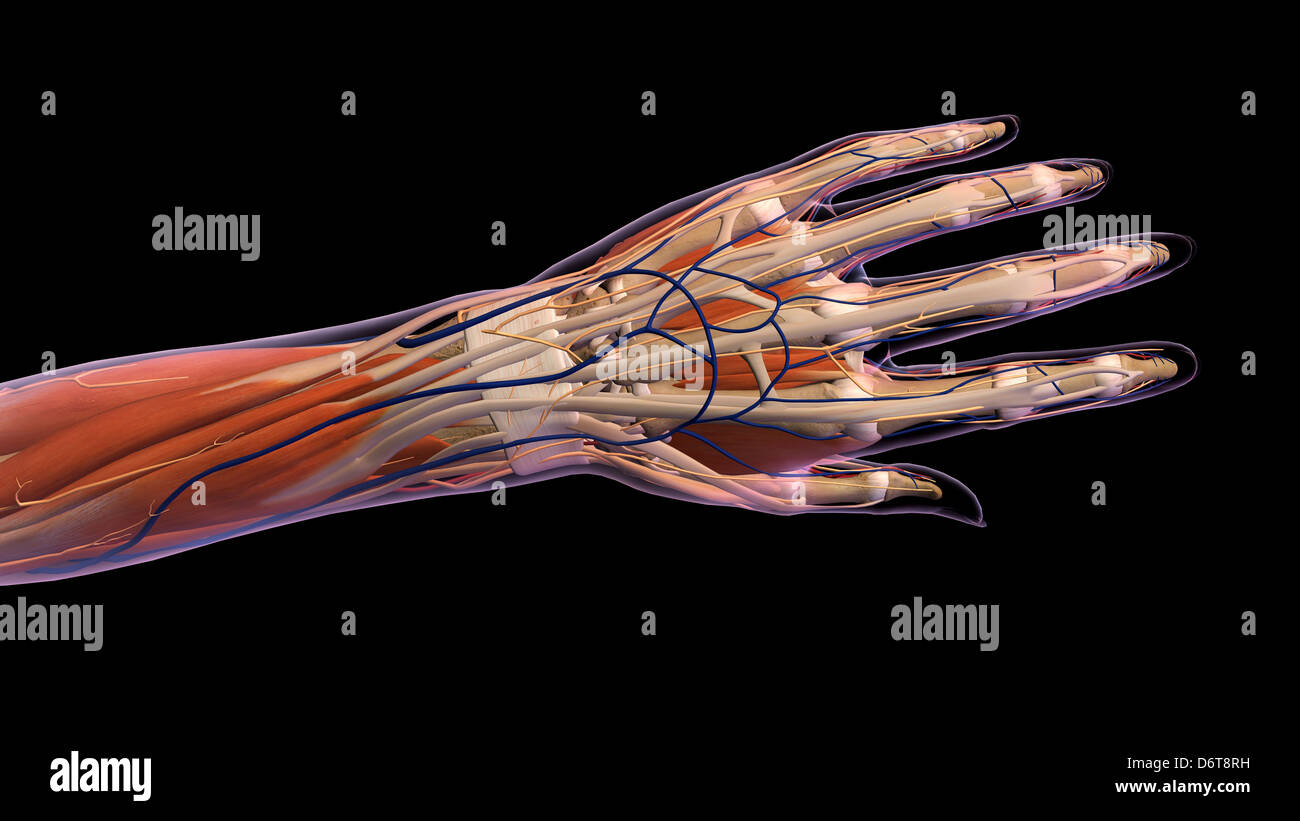 Female hand and wrist anatomy, back, posterior view, Xray outlined ...
