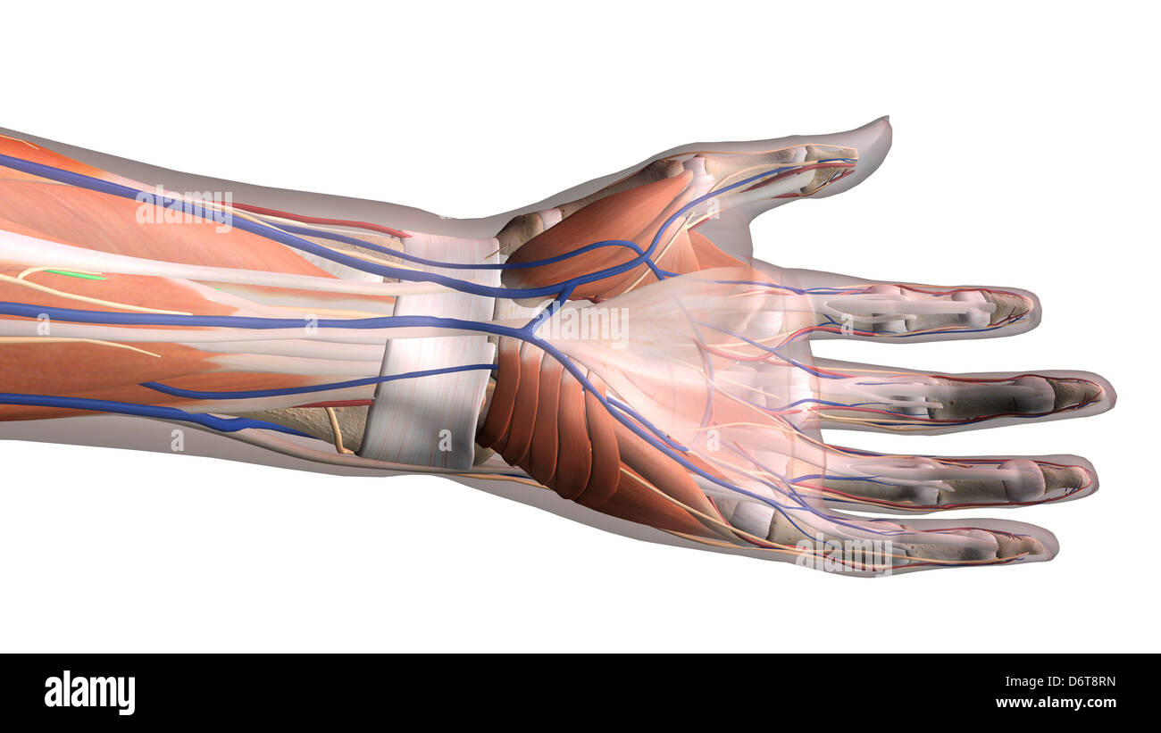 Female palm and wrist, anterior view, Close up, detailed anatomy ...