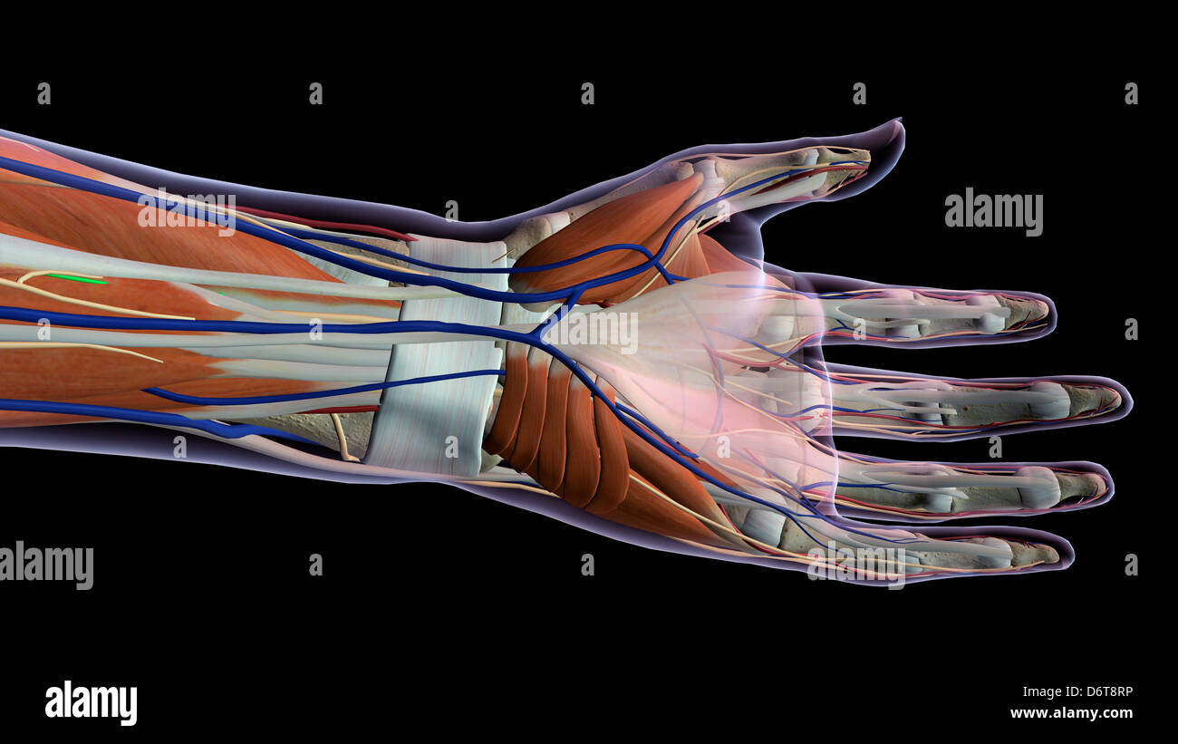 Female palm and wrist, anterior view, Close up, xray skin, detailed ...