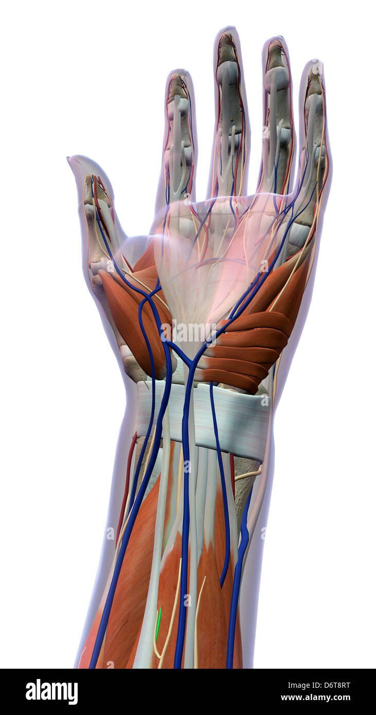 Female Palm And Wrist Anterior View Close Up Xray Skin Detailed