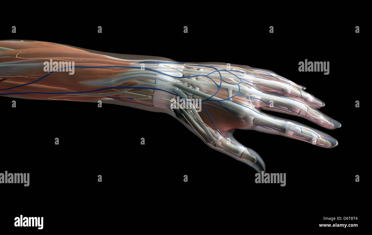 Female thumb, fingers and wrist anatomy, back, posterior view, full ...
