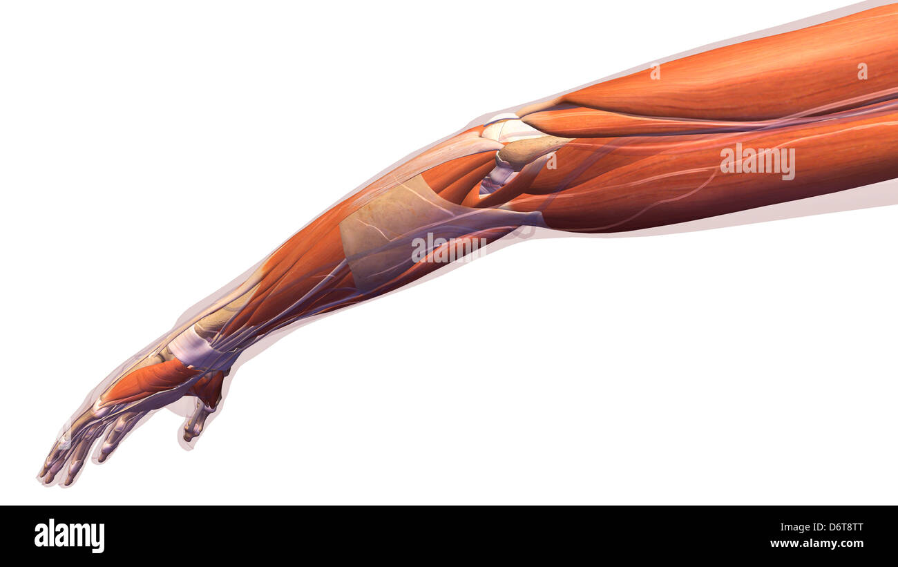 Female elbow and forearm muscular anatomy, back, posterior view ...