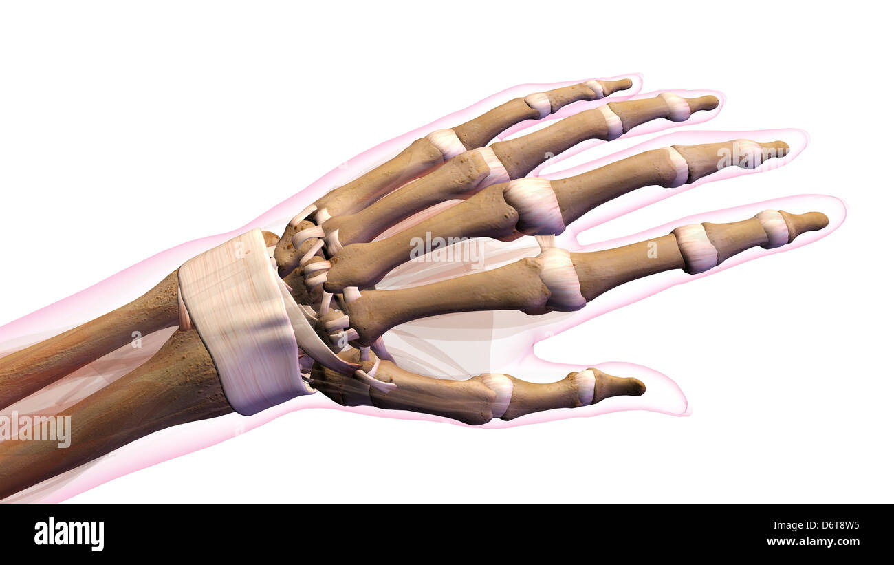 Female bones of hand, wrist, thumb, and fingers anatomy, back Stock ...