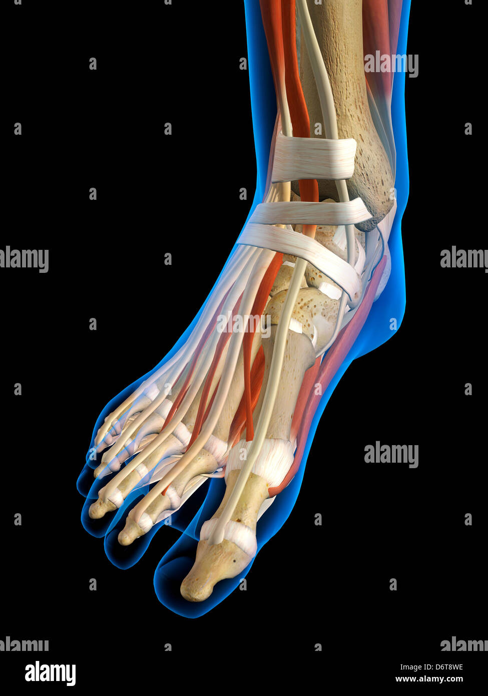 Front View X-Ray female ankle foot bones muscles ligaments Full ...