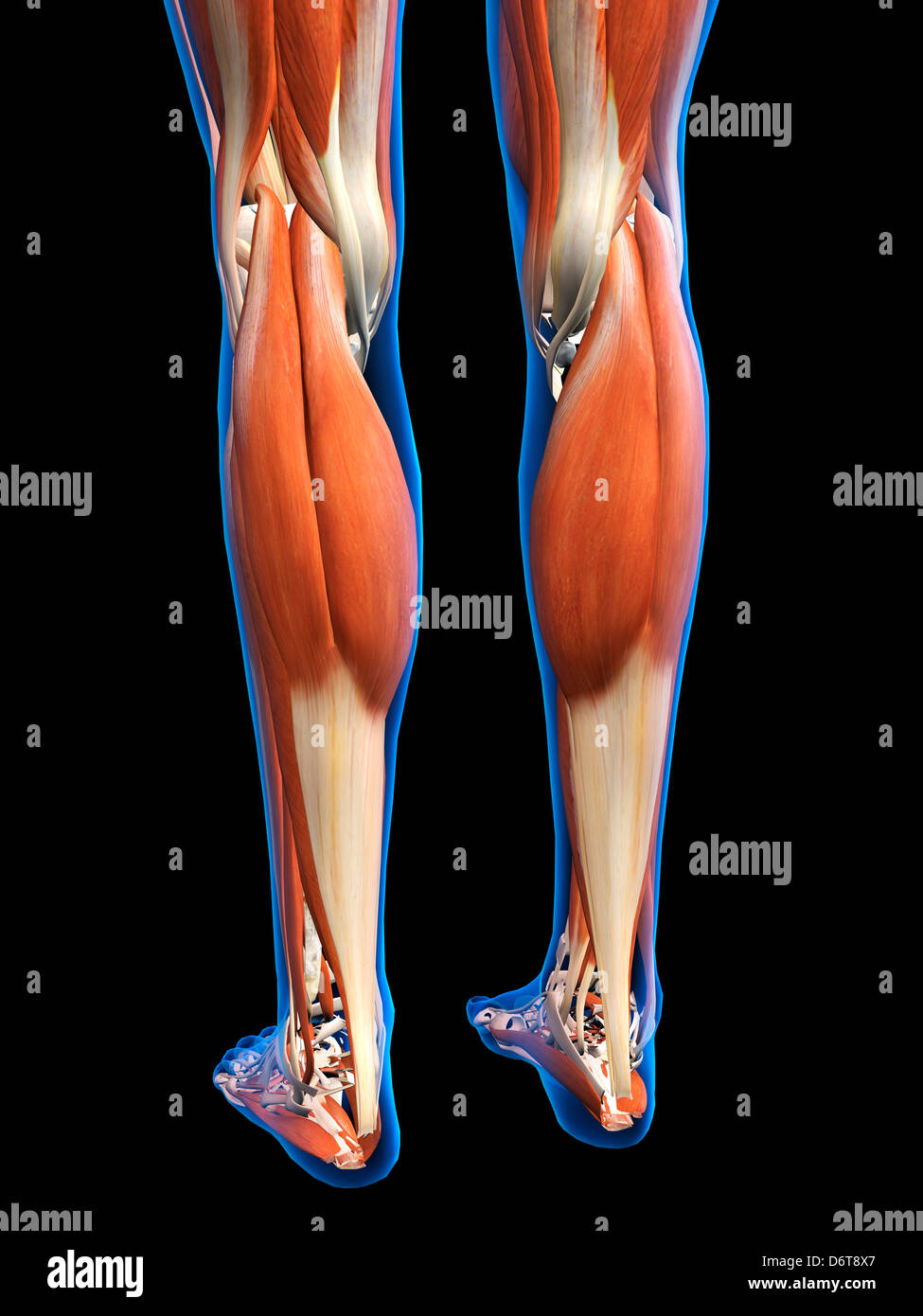 Female Legs Feet Muscles Anatomy In Blue X Ray Outline Full Color 3d