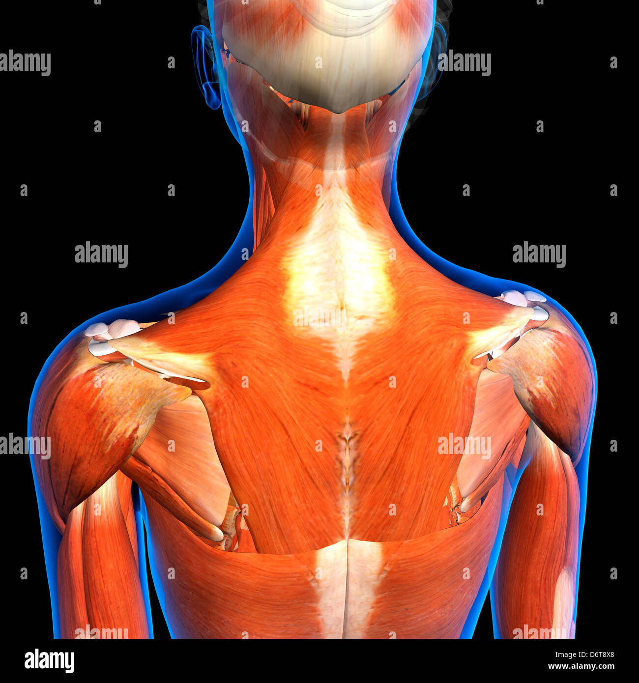 Female Neck Shoulder Muscles Anatomy In Blue X Ray Outline Full
