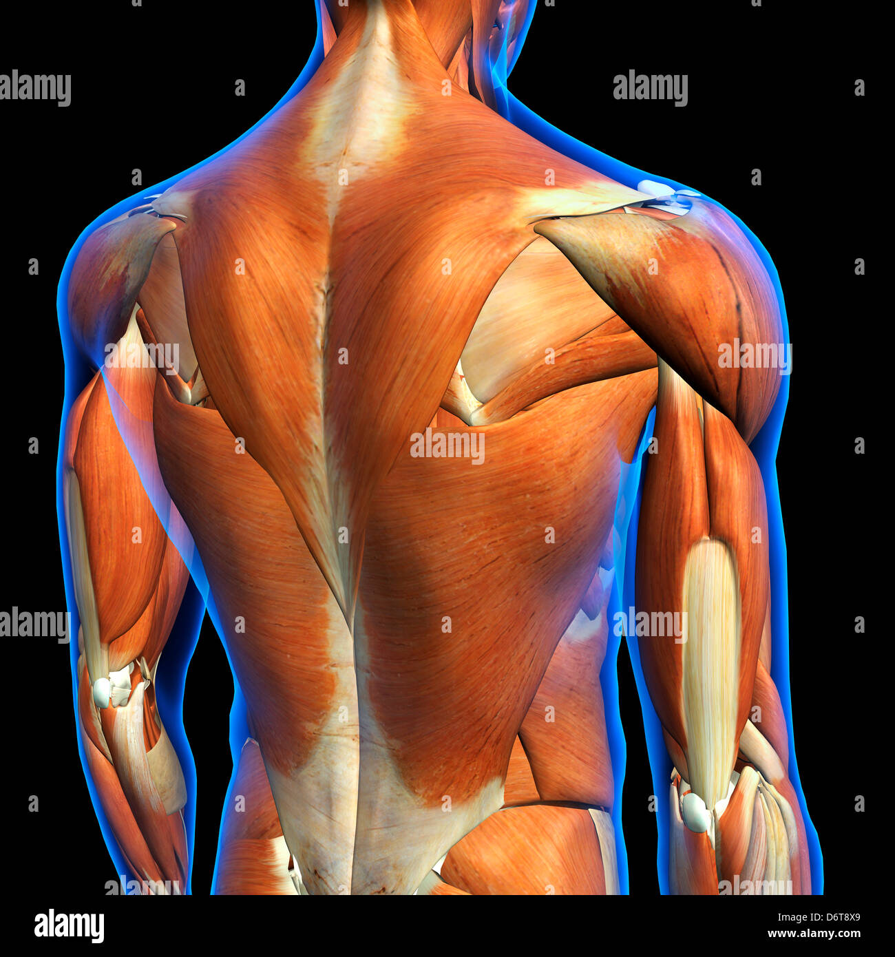 Male upper back muscles anatomy in blue X-Ray outline Full Color 3D ...