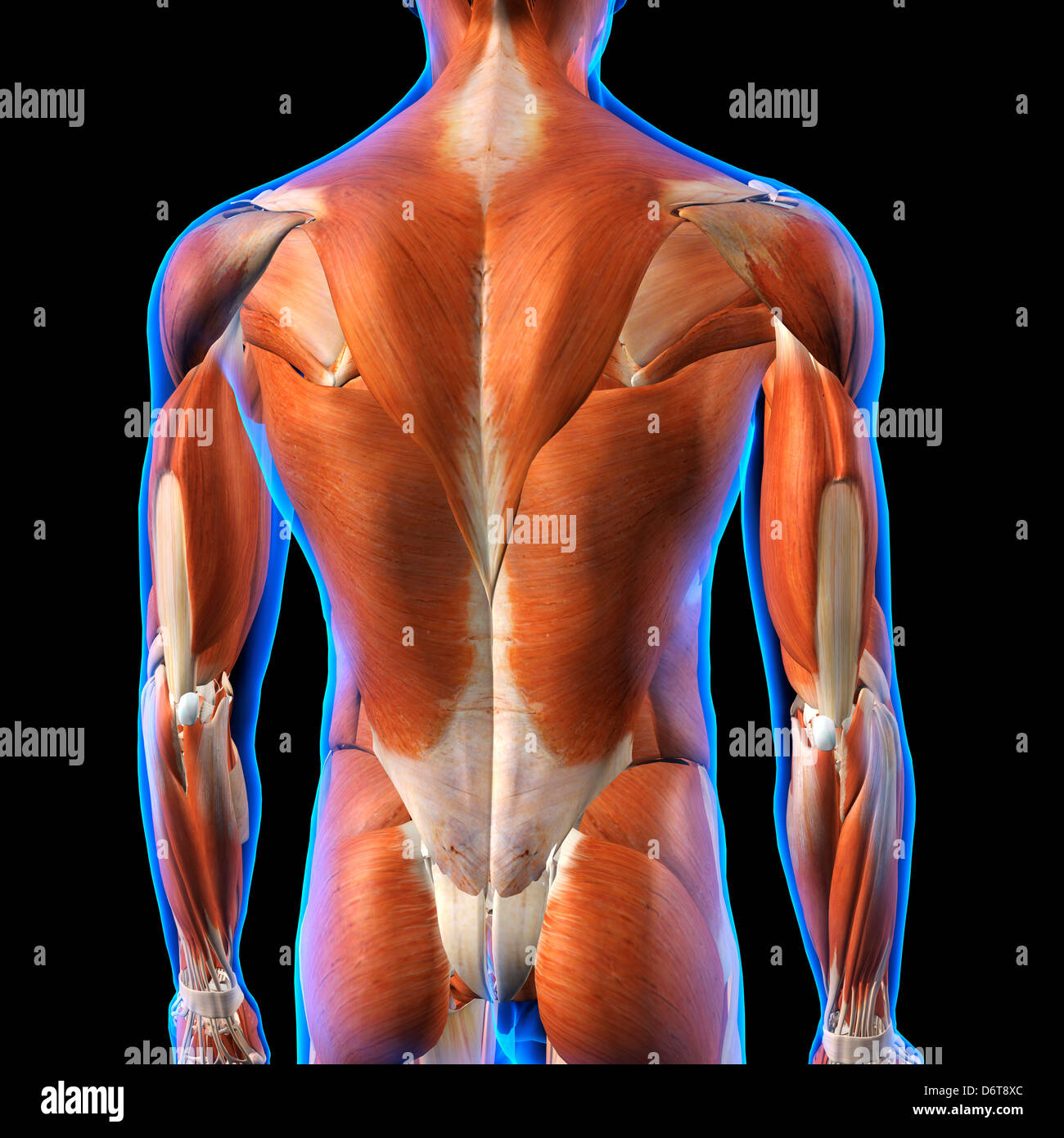 Rear View Of Male Back Muscles Anatomy In Blue X Ray Outline Full