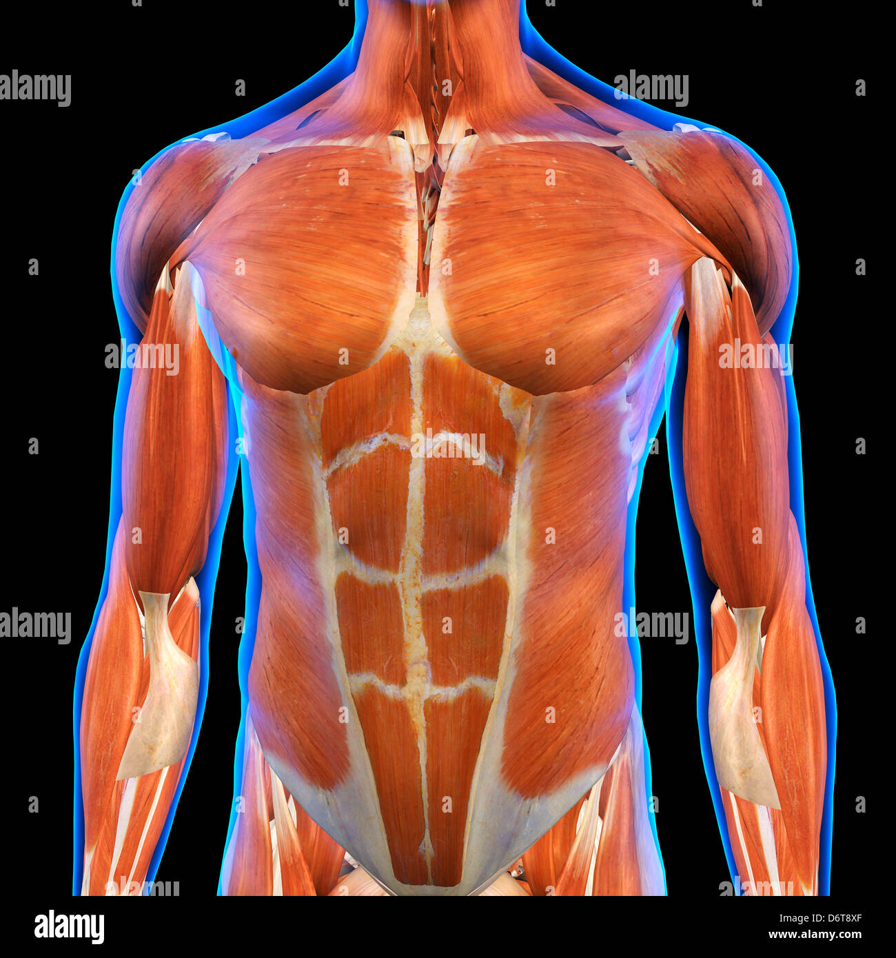 Male Chest Abdominal Muscles Anatomy in Blue X-Ray outline Full ...