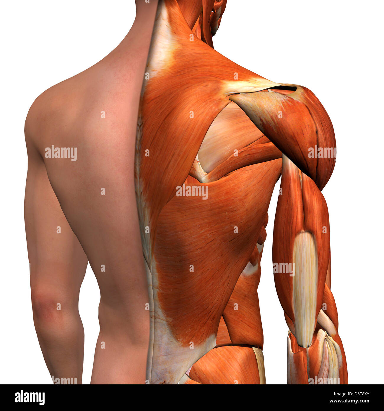 Cross-section anatomy of male shoulders and back muscles Stock Photo ...