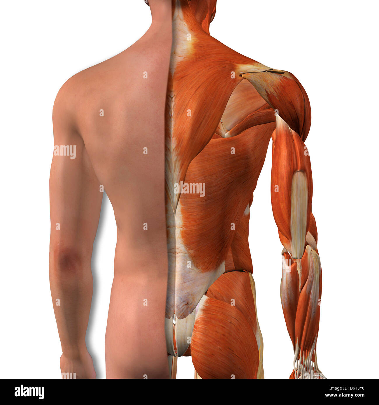 Cross-section anatomy of male buttocks and back muscles Stock Photo ...